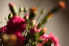 Carnations blur